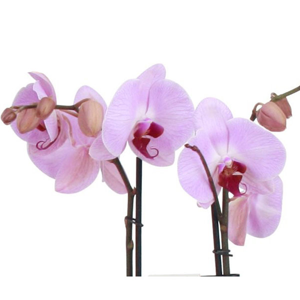 Orchidee Pink in pot Botanic Black