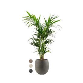 Fleur.nl - Kentia Palm Large in Luca Lifestyle Balloon S Concrete