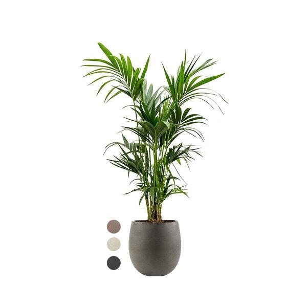 Kentia Palm Large in Luca Lifestyle Balloon S Concrete