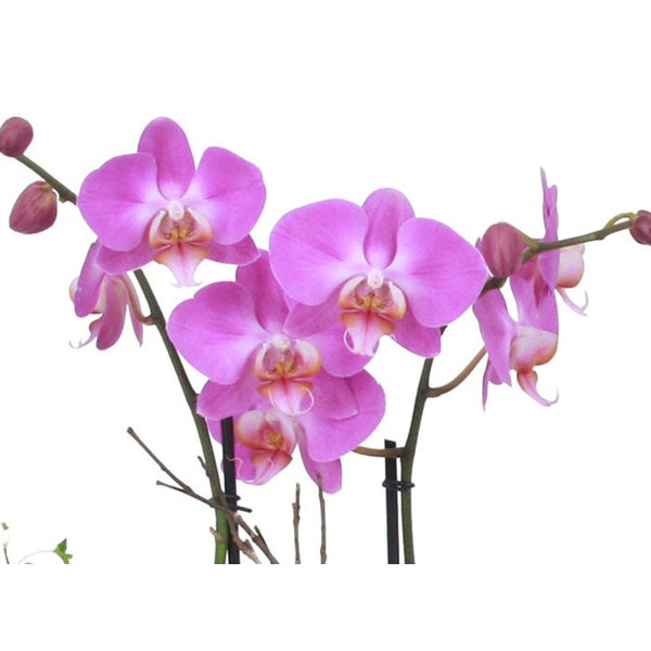 Orchidee Pink in pot Pastel White