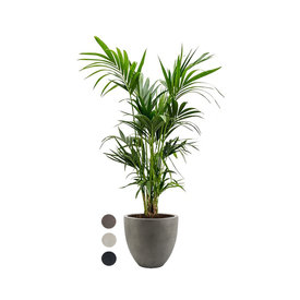 Fleur.nl - Kentia Palm XXL in Luca Lifestyle Egg M Concrete