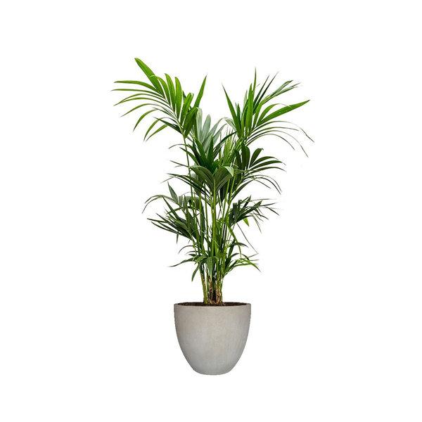 Kentia Palm XXL in Luca Lifestyle Egg M Concrete