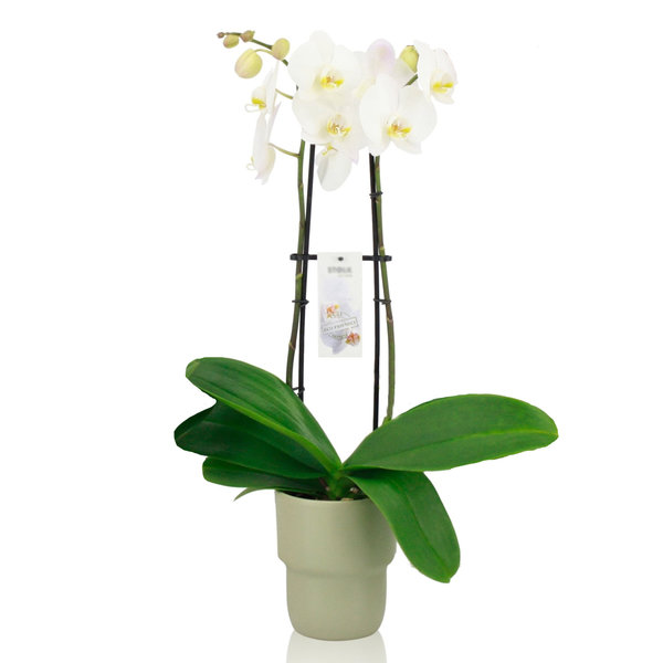 Orchidee White in pot Pastel Green