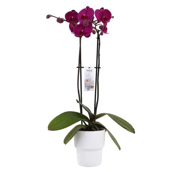 Orchidee Purple in pot Pastel White