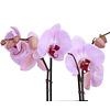 Orchidee Pink in pot Pastel Dark Green