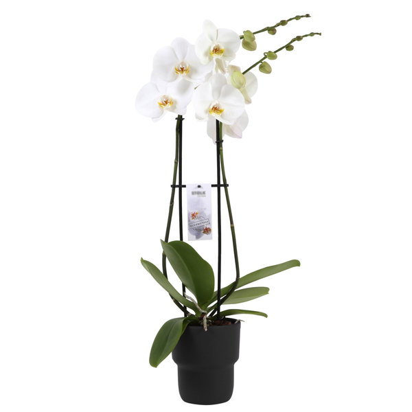 Orchidee White in pot Pastel Black