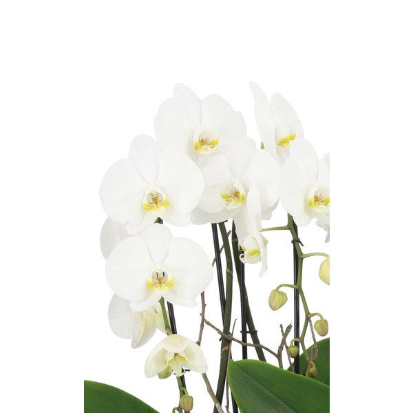 Orchidee White Cascade Twin in schaal Zona