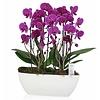 Orchidee Purple Cascade Twin in schaal Zona