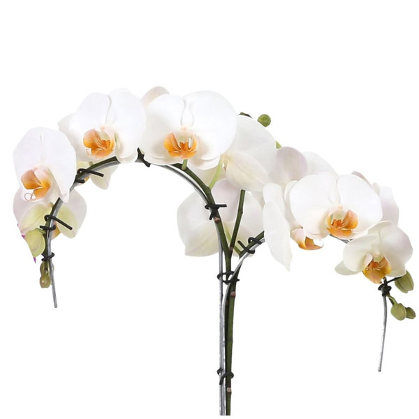 Orchidee Palmtree White in pot Lisa