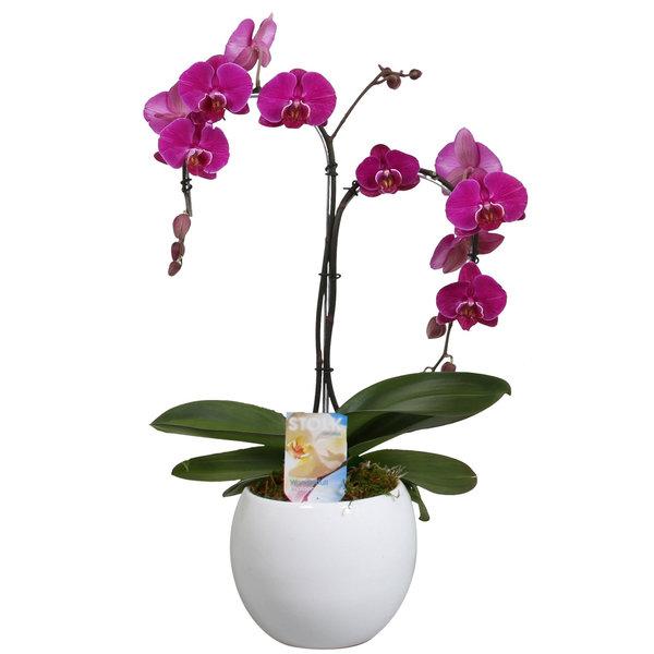 Orchidee Palmtree Purple in pot Lisa