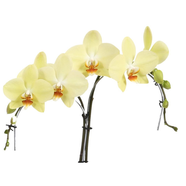 Orchidee Palmtree Yellow in pot Lisa