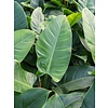 Philodendron Imperial Green medium