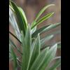 New Podocarpus Spray Large - kunstplant