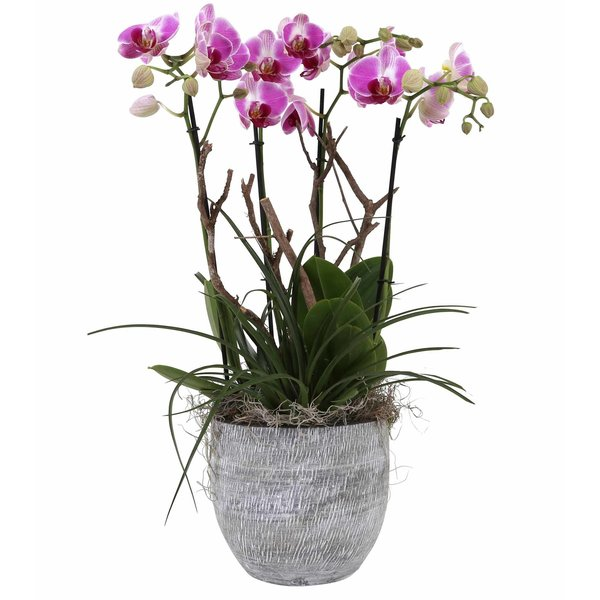 Orchidee Pink Complete in pot Stone
