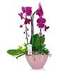 Orchidee Purple Cascade in schaal Pastel Pink