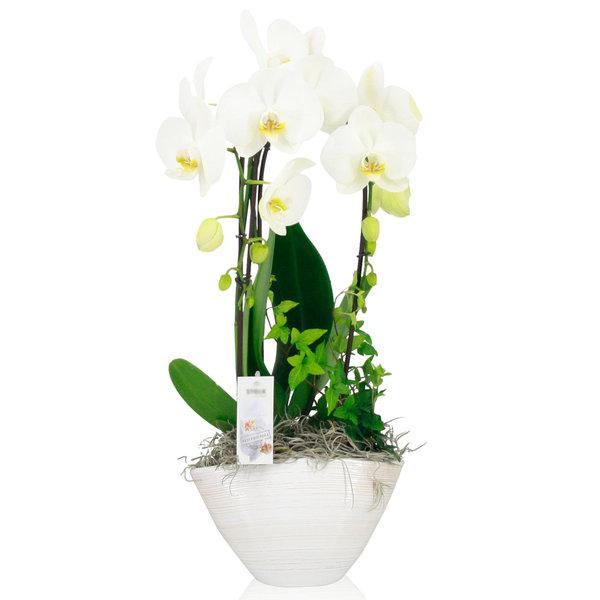 Orchidee White Cascade in schaal Pastel White