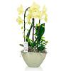 Orchidee Yellow Cascade in schaal Pastel Green