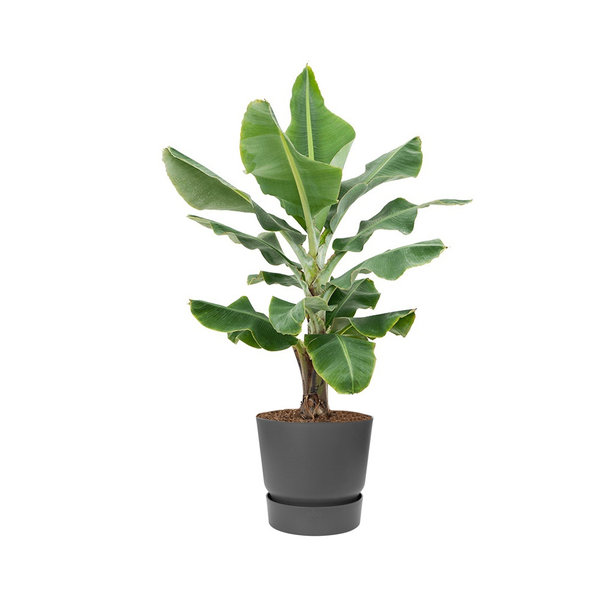 Bananenplant Musa XL in Pot Greenville Ø 40