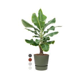 Fleur.nl - Bananenplant Musa XL in Pot Greenville Ø 40
