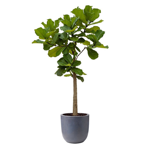 Ficus Lyrata op Stam  in Capi Urban Egg sierpot - M