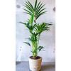 Kentia Palm Large in Drypot Rattan