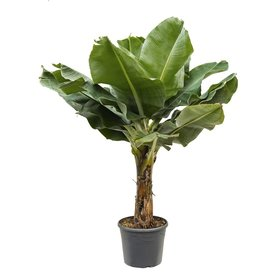Fleur.nl - Bananenplant musa XL