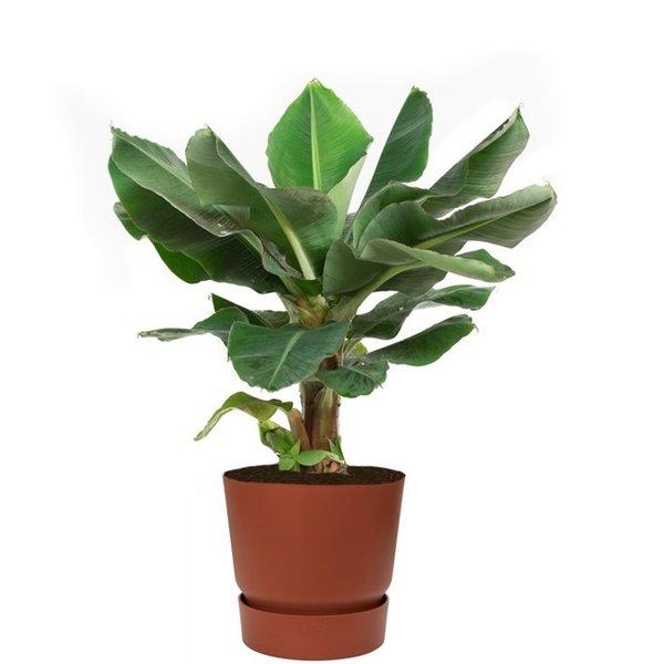 Bananenplant Musa Large in Pot Greenville Ø 30
