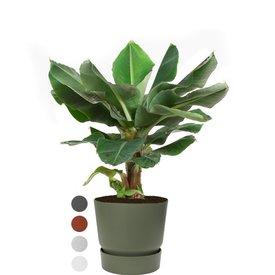 Fleur.nl - Bananenplant Musa Large in Pot Greenville Ø 30