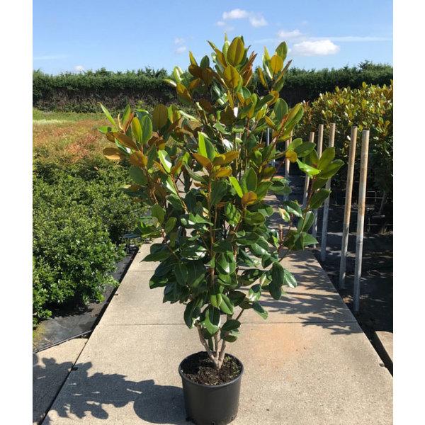 Magnolia grandiflora solitair