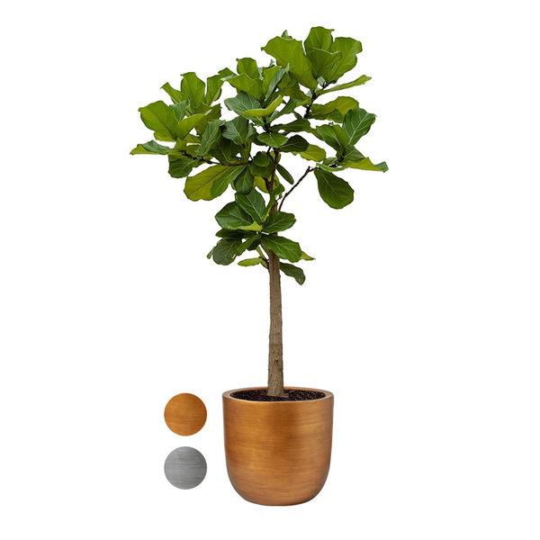 Ficus Lyrata op Stam  in Capi Nature Retro Gold sierpot