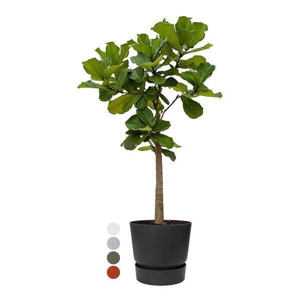 Ficus Lyrata op Stam  in Elho Greenville Round Ø 40