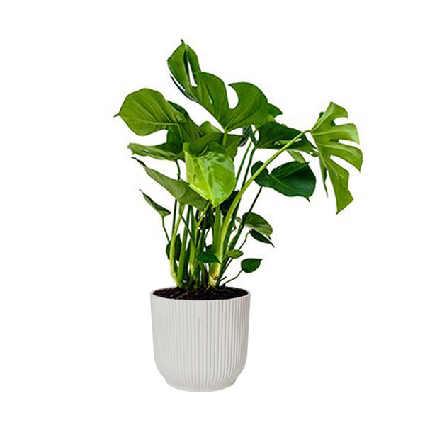 Monstera Gatenplant in Elho Vibes XL