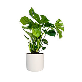 Fleur.nl - Monstera Gatenplant in Elho Soft Wit pot