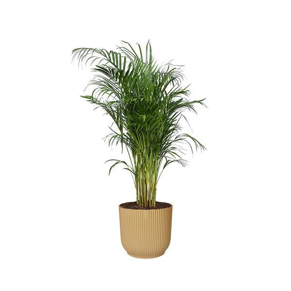 Areca Palm Small in Elho Vibes XL
