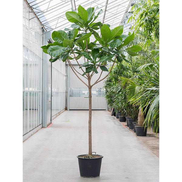 Barringtonia Asiatica