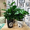 Coffea Arabica Koffieplant