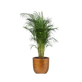 Fleur.nl - Areca Palm Small in Capi Nature Retro Gold