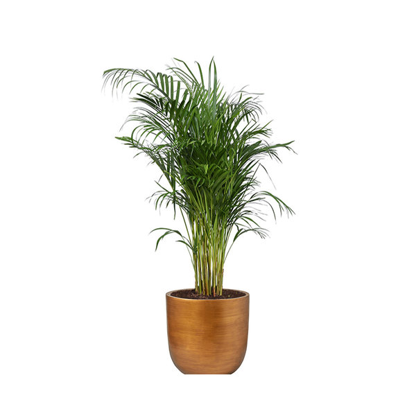 Areca Palm Small in Capi Nature Retro Gold
