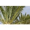 Cocos Nucifera 2-stam