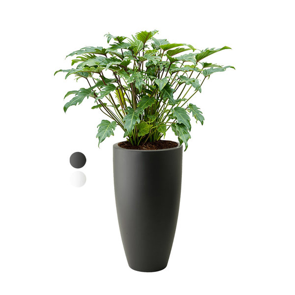 Philodendron Xanadu Bush M in Elho Pure Soft Hoog - H 105 cm