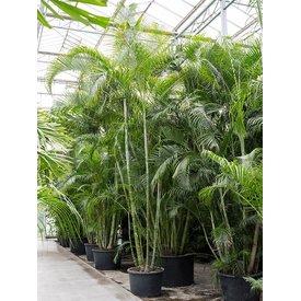Fleur.nl - Areca palm Lutescens