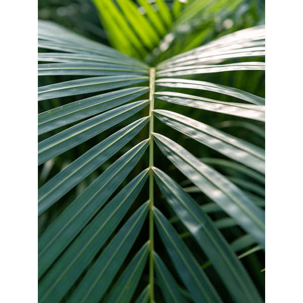 Areca palm Lutescens