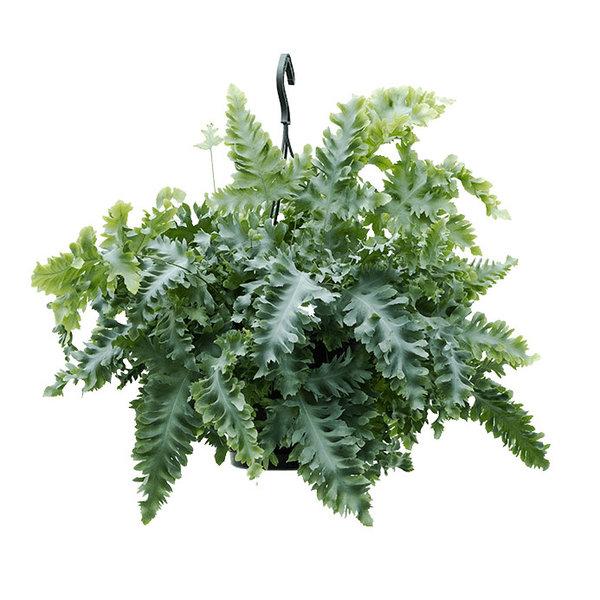 Phlebodium Aureum Davana