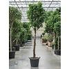 Ficus Benjamina 'Columnar' op stam