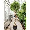 Ficus Benjamina 'Exotica' spiraal