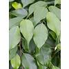 Ficus Benjamina 'Exotica' stam gevlochten