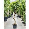 Ficus Binnendijkii 'Amstel King' op stam kurk