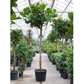 Fleur.nl - Ficus Lyrata 400cm