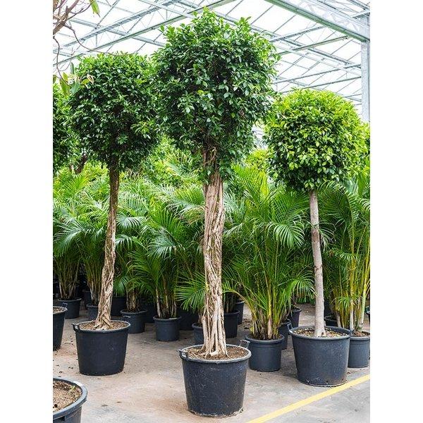 Ficus Nitida op stam