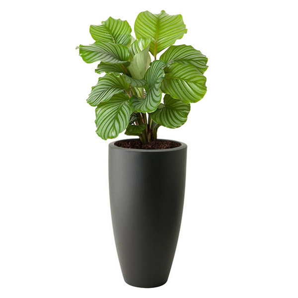 Calathea Orbifolia in Elho Pure Soft Hoog